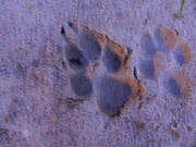 Paw Print Prints -  Paw Print  Print by Kenneth Jordan
