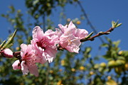 Tracey Harrington-Simpson - 	 Peach Tree Blossom Against Blue Sky