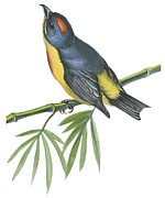 Yellow Leaves Drawings Prints -  Philippine flowerpecker Print by Anonymous
