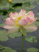 Lotus And Waterlily Paintings -  Pink Lotus by Alfred Ng