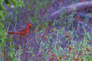 Douglas Barnard -  Red Cardinal- Canyon of...