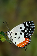 Orange Photos Posters -  Red Pierrot Butterfly Poster by Anonymous