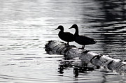 Ripples Of Black And White Prints -  Silhouetted Ducks Print by Sharon  Talson