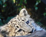 Snow Leopard Cub Print by Margaret Saheed