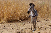 Foal Framed Prints -  South Luangwa Zebra Foal Framed Print by Alex Cassels