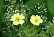 Flower Photos Photos -  Sulfur Cinquefoil Two of a Kind   by Neal  Eslinger