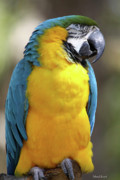 Macaw Photos -  The Big Guy by Deborah Benoit