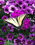 """flora Prints"" Prints -    Tiger  Swallowtail Butterfly Print by Sharon Duguay"