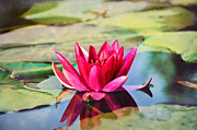 Water Lily Print by Gynt