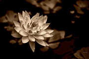 Cheryl Young -  Water Lily sepia