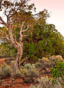 Thor Prints -  Weathered Tree Sunrise Canyon DeChelly Print by Nadine and Bob Johnston