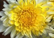 White Mum Flower Print by Johnson Moya