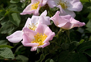 Prickly Rose Posters -  Wild Rose shrub  Poster by Cliff  Norton