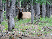 Elk Or Wapiti Photos -  Yellowstone Park Elk  by Larry Stolle