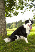 Border Collie In The Nature Print by Regina Koch