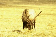 Bulls Metal Prints - A Bull Elk Metal Print by Jeff  Swan