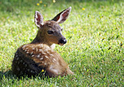 Laying Down Photos - A Fawn on the Lawn by Sharon  Talson
