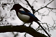 Magpies Framed Prints - A magpie Framed Print by Tommy Hammarsten