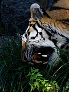 The Tiger Photo Metal Prints - A Mouth Full Metal Print by Ernie Echols