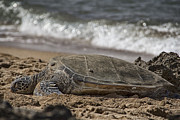 Green Sea Turtle Photos - A Time to Rest by Douglas Barnard