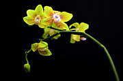 High Vulnerability Prints - A yellow orchid  Print by Tommy Hammarsten