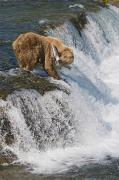 Katmai National Park Prints - Adult Brown Bear Fishing For Salmon Print by Kenneth Whitten