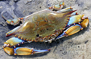 Callinectes Sapidus Prints - Adult Male Blue Crab Print by Millard H. Sharp