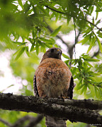 Red-shouldered Hawk Photos - Adult Red Shouldered Hawk by Jai Johnson