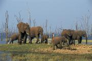 Herd Of Elephants Posters - African Elephants, Lake Kariba Poster by Thomas Kitchin & Victoria Hurst