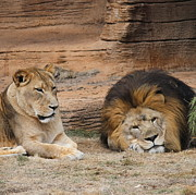 Cathy Lindsey - African Lion Couple 3