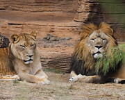 Cathy Lindsey - African Lion Couple