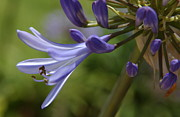 Blue Lily Of The Nile Photos - Agapanthus Lily in Pacific Beach by Anna Lisa Yoder