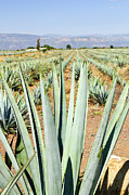 Dry Photos - Agave cactus field in Mexico by Elena Elisseeva
