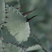 Terminal Digital Art - Agave parryi truncata - Artichoke Agave - Cactus and Succulents  Maui Hawaii by Sharon Mau