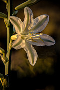 Arizona Photography Posters - Ajo Lily Poster by Robert Bales