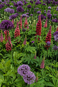 Flower Display Prints - Allium and Lupin Print by Alan Pickersgill