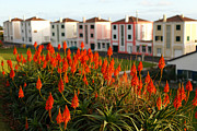 Aloe Flowers Print by Gaspar Avila