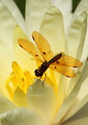 Water Lily Photos - Amber Dragonfly Dancer by Sabrina L Ryan