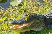 Doug McPherson - American Alligator
