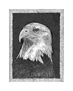 Fine American Art Drawings Posters - American Bald Eagle Poster by Jack Pumphrey