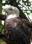 Kimberly Black - American Bald Eagle