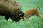 American Bison Prints - American Bison Cow And Calf Print by Suzi Eszterhas