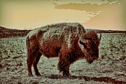 Southwest Oklahoma Framed Prints - American Buffalo  Framed Print by Tony Grider