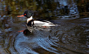 Photos Of Birds Framed Prints - American Merganser Framed Print by Skip Willits
