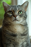 Green Eyes Prints - American Shorthair Cat Profile Print by Amy Cicconi