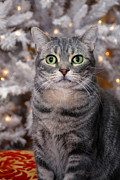 Big Eyes Posters - American Shorthair Cat with Holiday Tree Poster by Amy Cicconi