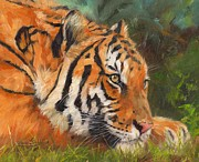 Cats Resting Prints - Amur Tiger Print by David Stribbling