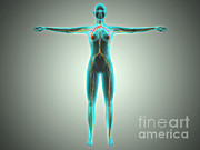 Physiology Metal Prints - Anatomy Of Female Body With Arteries Metal Print by Stocktrek Images