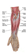 Median Nerves Framed Prints - Anatomy Of Forearm Muscles, Anterior Framed Print by Stocktrek Images