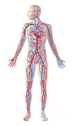 Lingual Artery Posters - Anatomy Of Human Circulatory System Poster by Leonello Calvetti